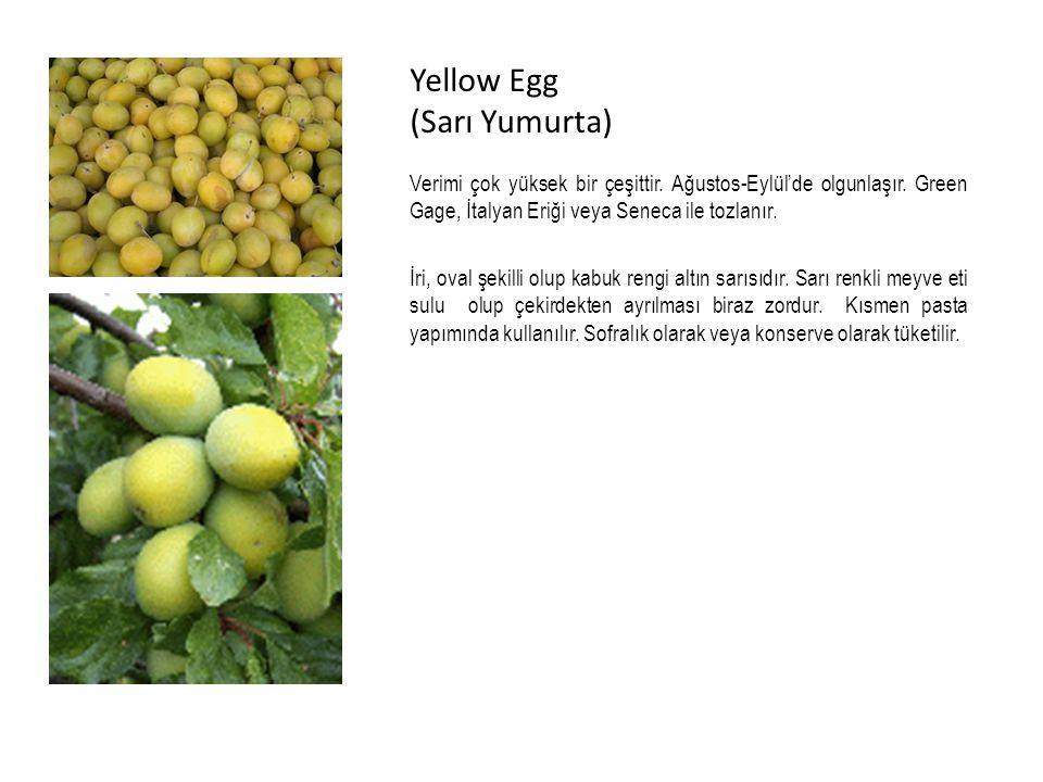 Yellow Egg (Sarı Yumurta) Verimi çok yüksek bir çeşittir.