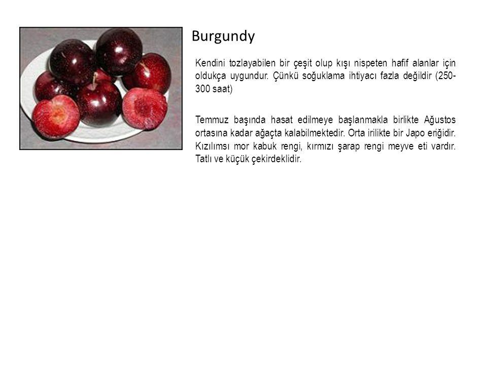 Burgundy Kendini tozlayabilen bir çeşit olup kışı nispeten hafif alanlar için oldukça uygundur.