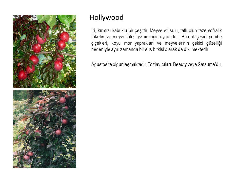 Hollywood İri, kırmızı kabuklu bir çeşittir.