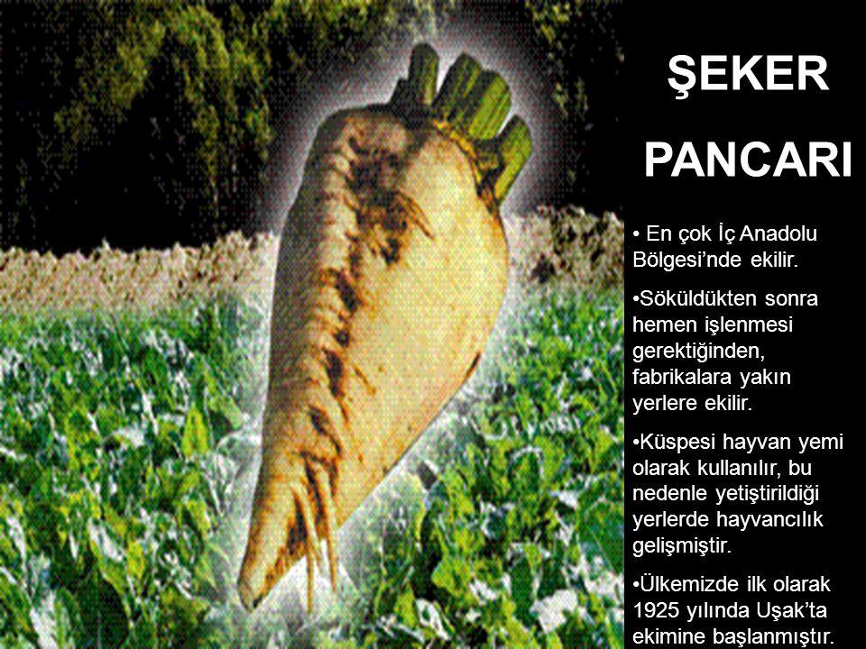En çok İç Anadolu Bölgesi'nde ekilir. Söküldükten sonra hemen işlenmesi gerektiğinden, fabrikalara yakın yerlere ekilir. Küspesi hayvan yemi olarak ku