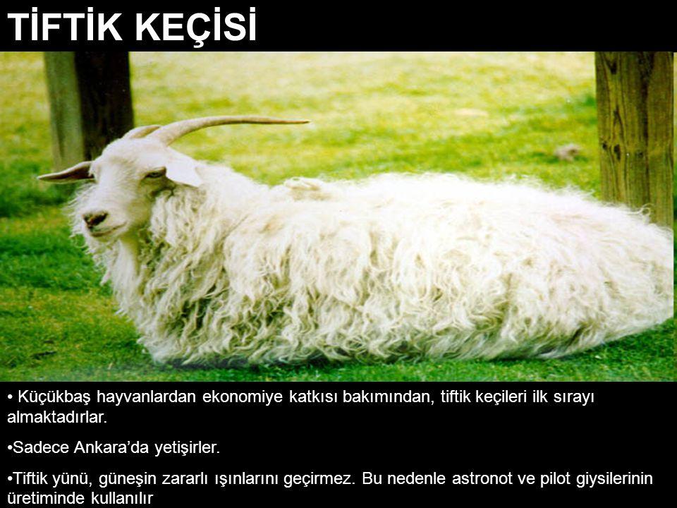 Küçükbaş hayvanlardan ekonomiye katkısı bakımından, tiftik keçileri ilk sırayı almaktadırlar. Sadece Ankara'da yetişirler. Tiftik yünü, güneşin zararl