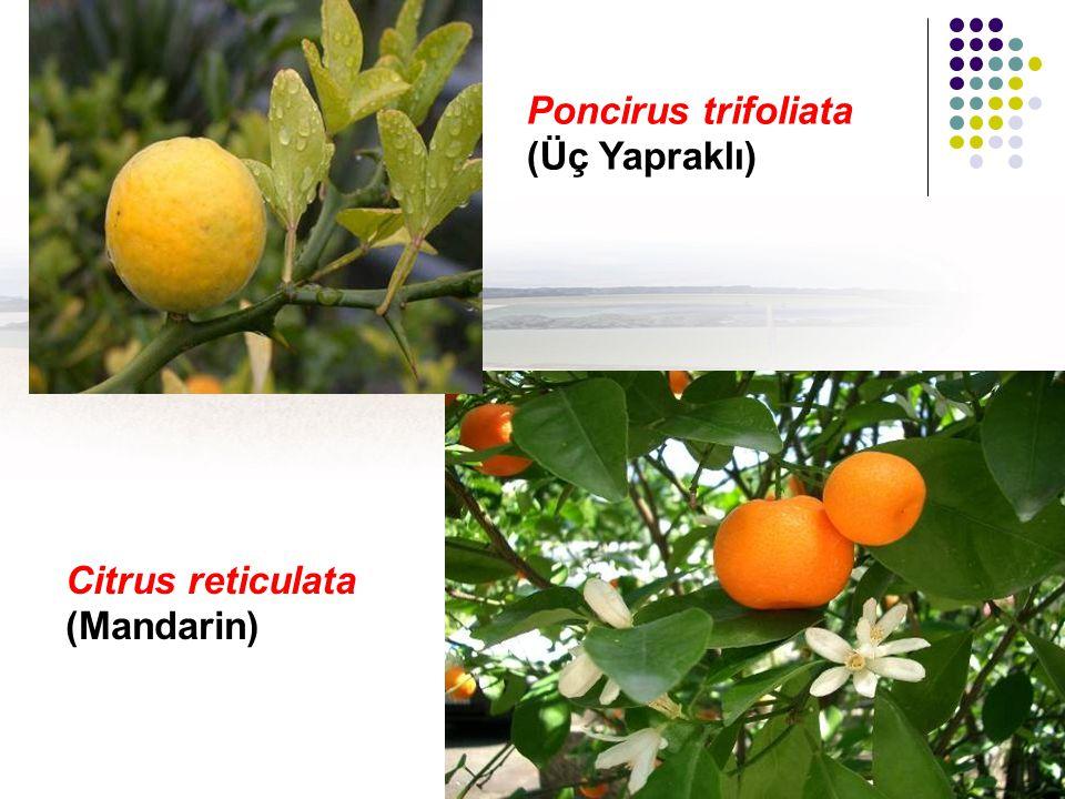 Citrus reticulata (Mandarin) Poncirus trifoliata (Üç Yapraklı)