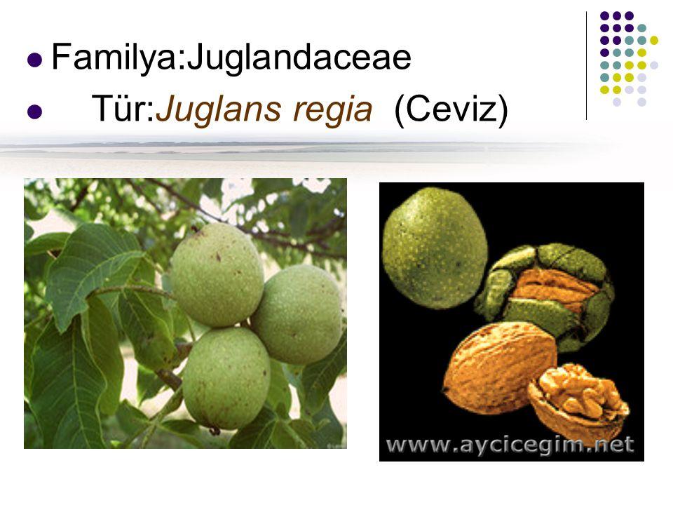 Familya:Juglandaceae Tür:Juglans regia (Ceviz)