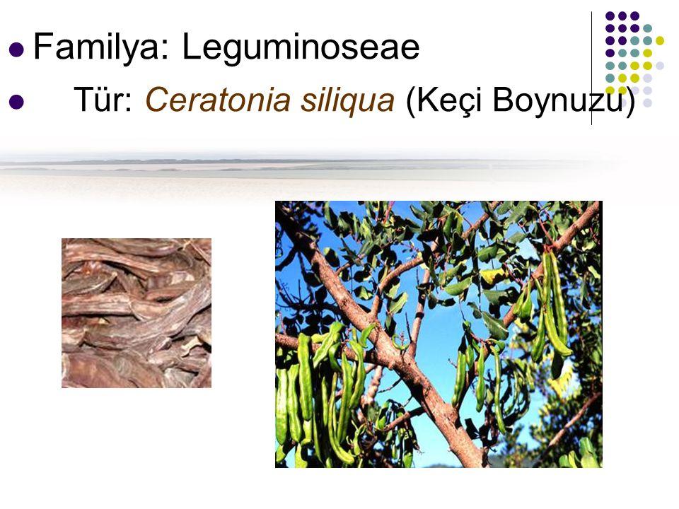 Familya: Leguminoseae Tür: Ceratonia siliqua (Keçi Boynuzu)