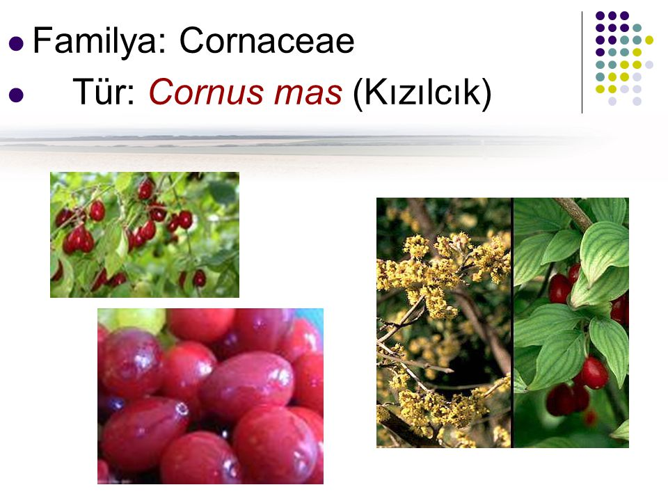 Familya: Cornaceae Tür: Cornus mas (Kızılcık)