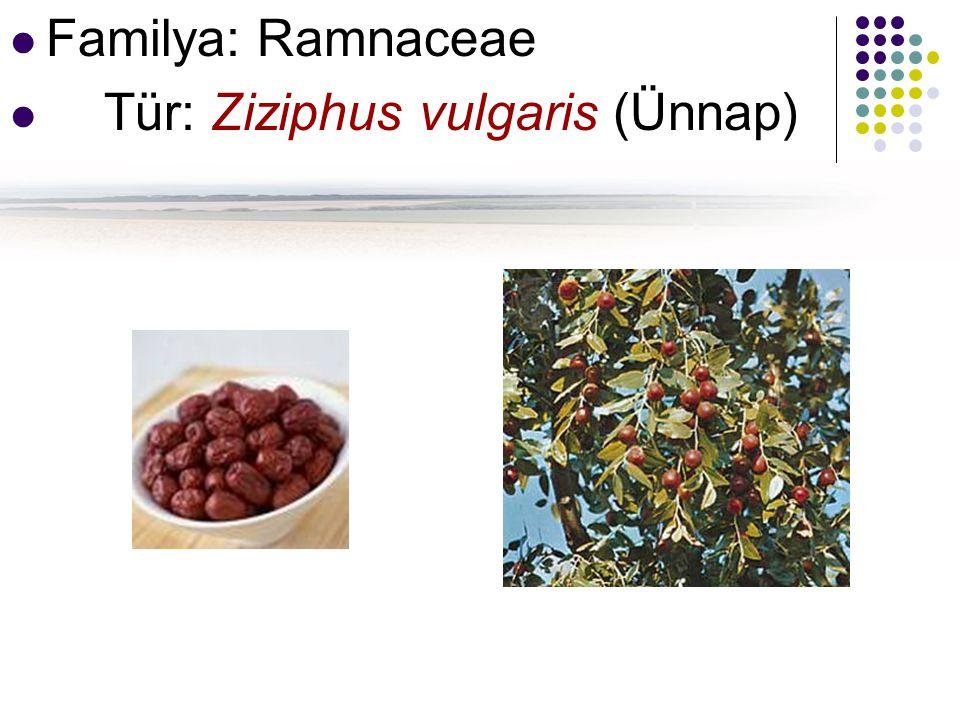 Familya: Ramnaceae Tür: Ziziphus vulgaris (Ünnap)
