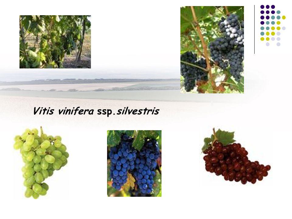 Vitis vinifera ssp.silvestris