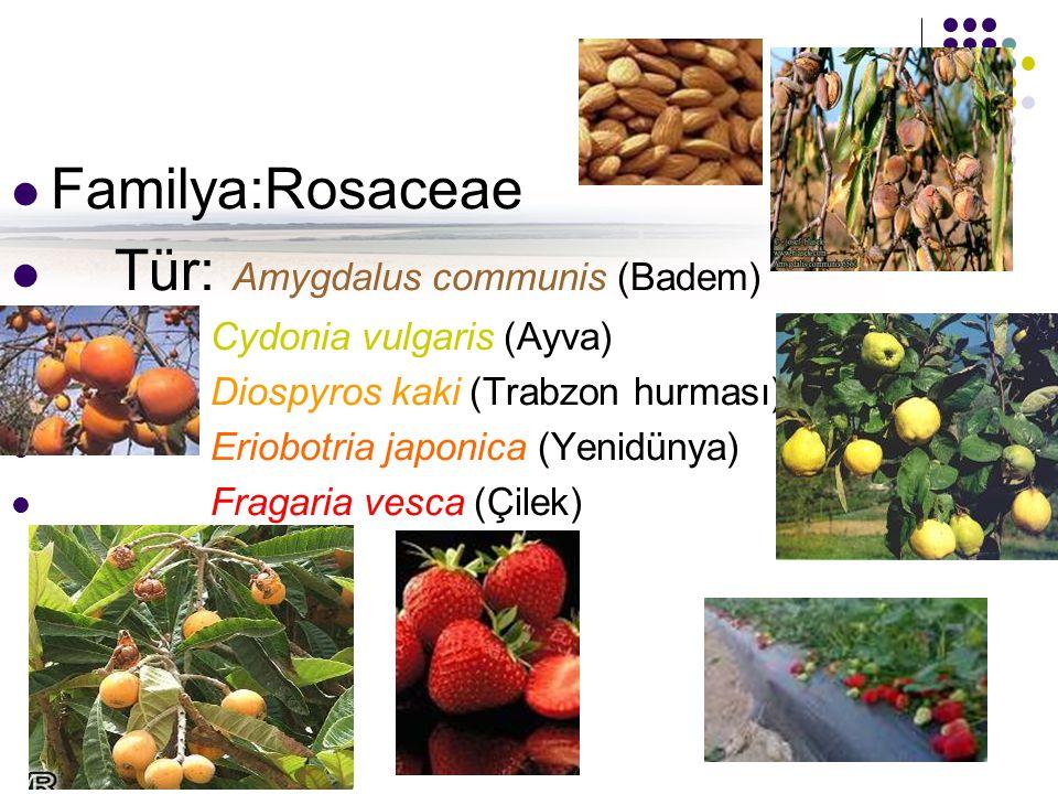 Familya:Rosaceae Tür: Amygdalus communis (Badem) Cydonia vulgaris (Ayva) Diospyros kaki (Trabzon hurması) Eriobotria japonica (Yenidünya) Fragaria vesca (Çilek)