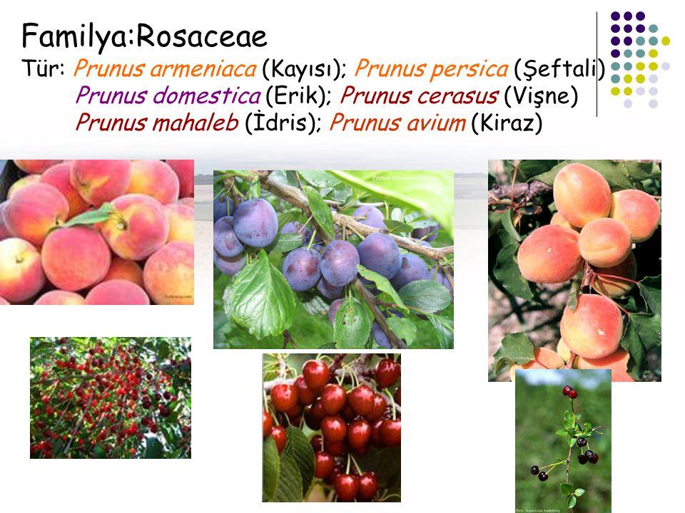Familya:Rosaceae Tür: Prunus armeniaca (Kayısı); Prunus persica (Şeftali) Prunus domestica (Erik); Prunus cerasus (Vişne) Prunus mahaleb (İdris); Prunus avium (Kiraz)
