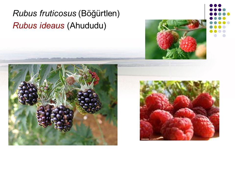 Rubus fruticosus (Böğürtlen) Rubus ideaus (Ahududu)