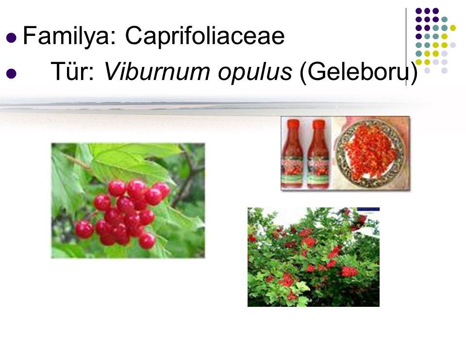 Familya: Caprifoliaceae Tür: Viburnum opulus (Geleboru)