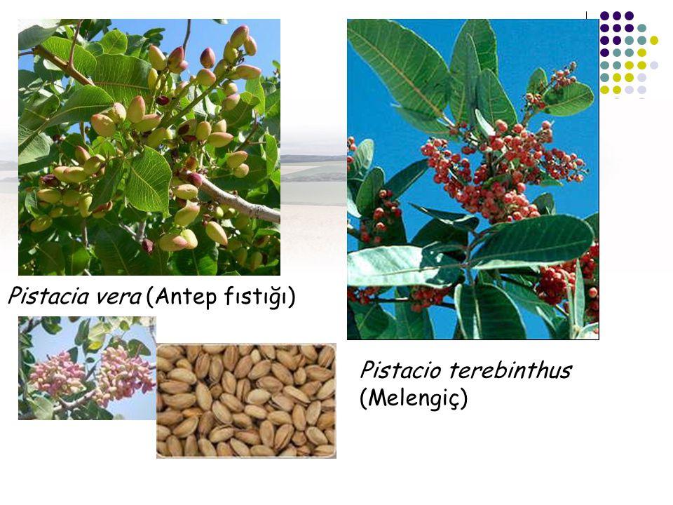 Pistacia vera (Antep fıstığı) Pistacio terebinthus (Melengiç)