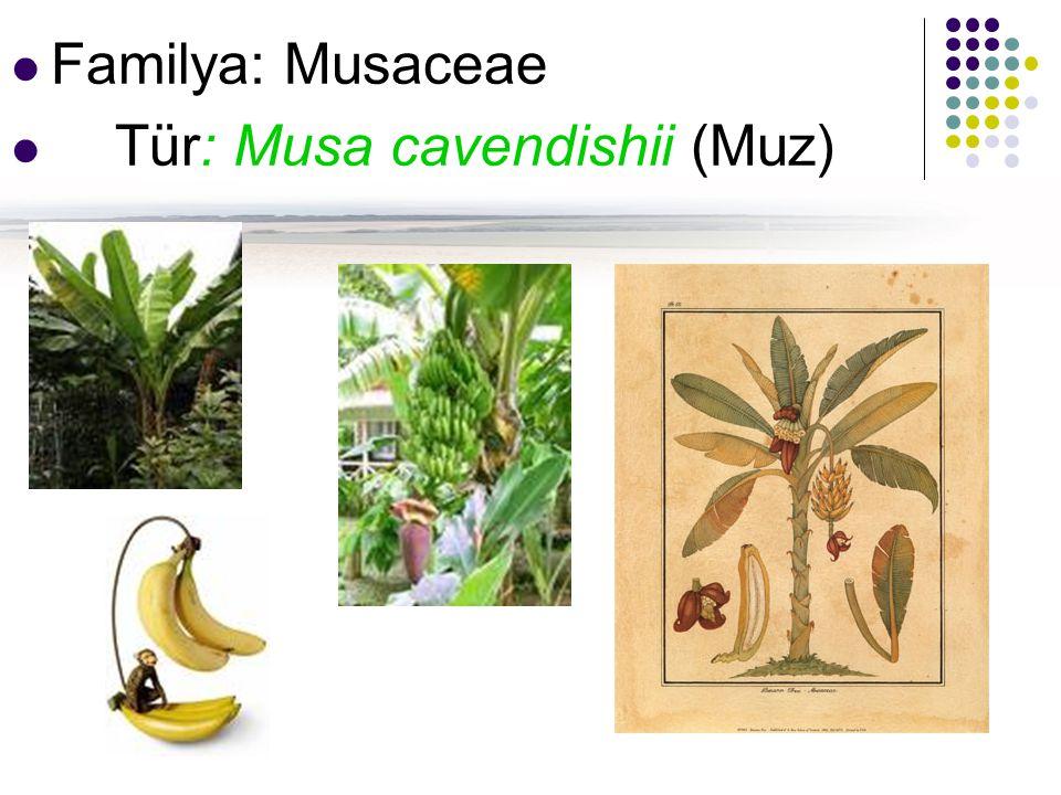 Familya: Musaceae Tür: Musa cavendishii (Muz)