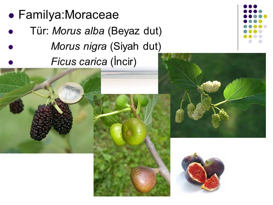 Familya:Moraceae Tür: Morus alba (Beyaz dut) Morus nigra (Siyah dut) Ficus carica (İncir)