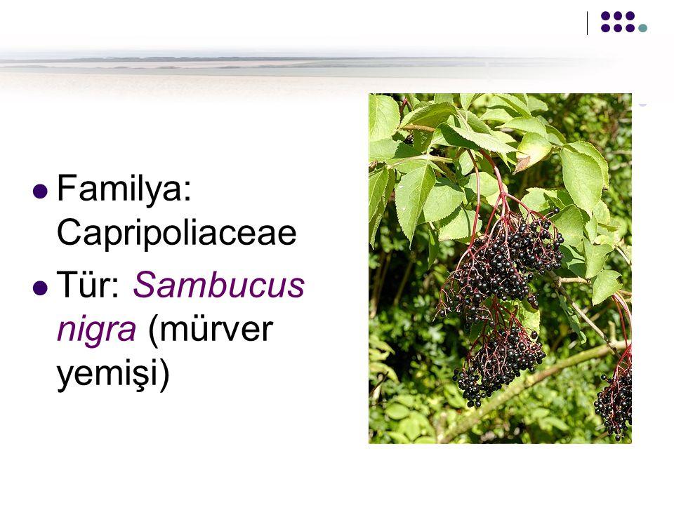 Familya: Capripoliaceae Tür: Sambucus nigra (mürver yemişi)