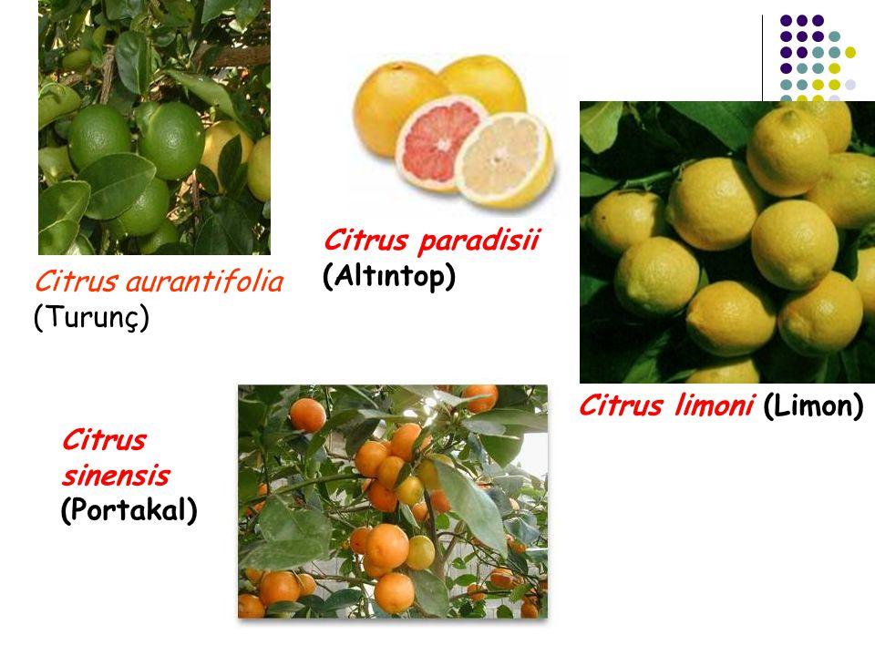 Citrus paradisii (Altıntop) Citrus aurantifolia (Turunç) Citrus limoni (Limon) Citrus sinensis (Portakal)