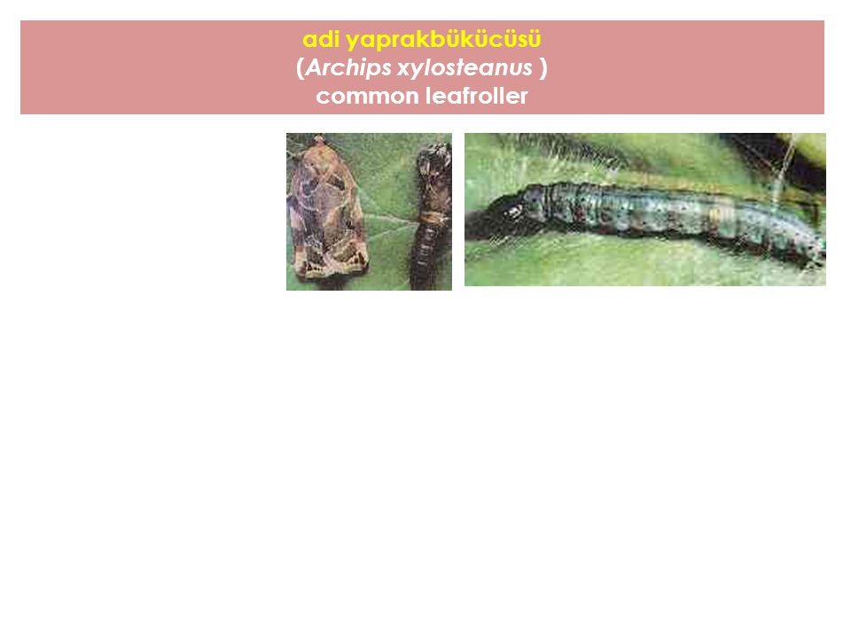 adi yaprakbükücüsü ( Archips xylosteanus ) common leafroller