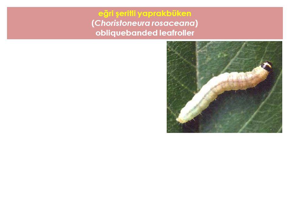 eğri şeritli yaprakbüken ( Choristoneura rosaceana ) obliquebanded leafroller
