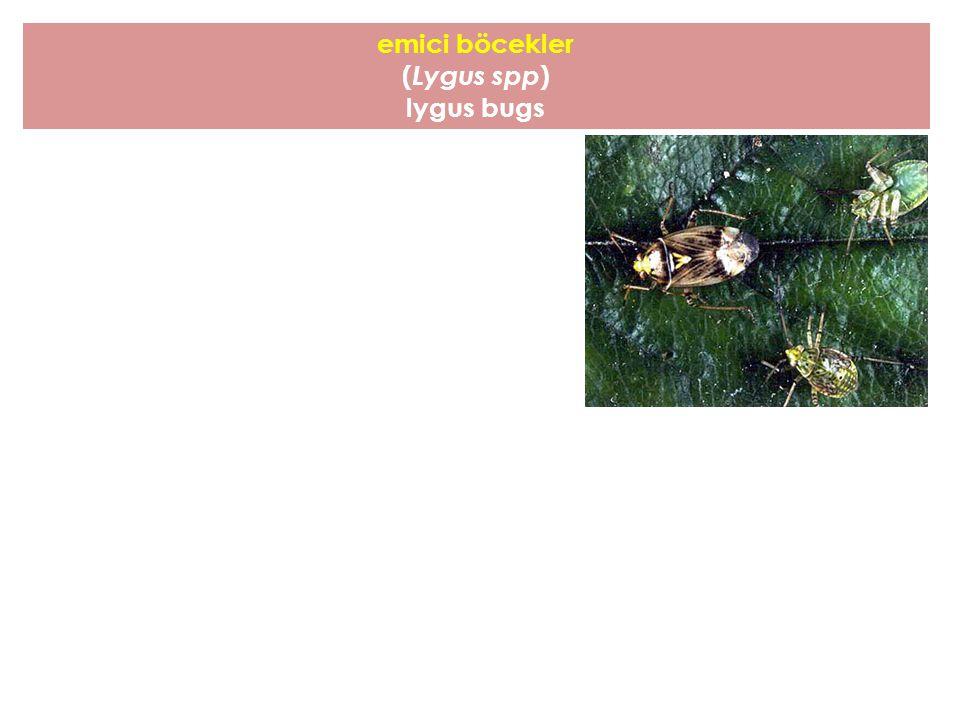emici böcekler ( Lygus spp ) lygus bugs