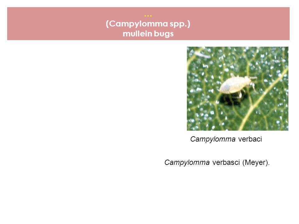 … (Campylomma spp.) mullein bugs Campylomma verbaci Campylomma verbasci (Meyer).