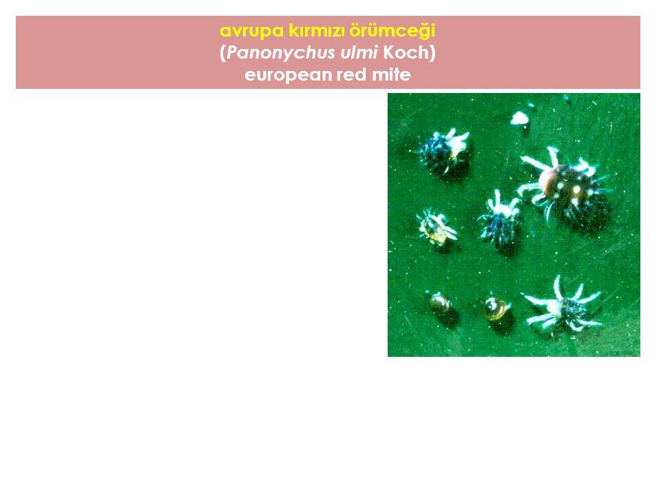 avrupa kırmızı örümceği ( Panonychus ulmi Koch) european red mite