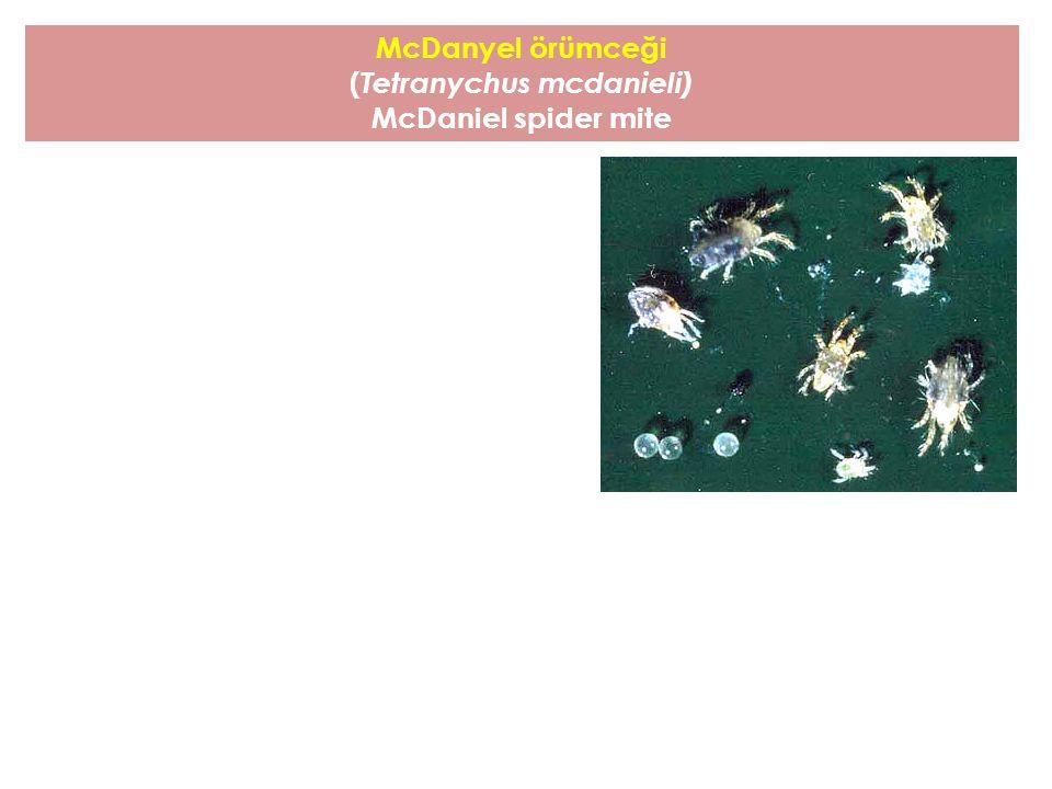 McDanyel örümceği ( Tetranychus mcdanieli) McDaniel spider mite