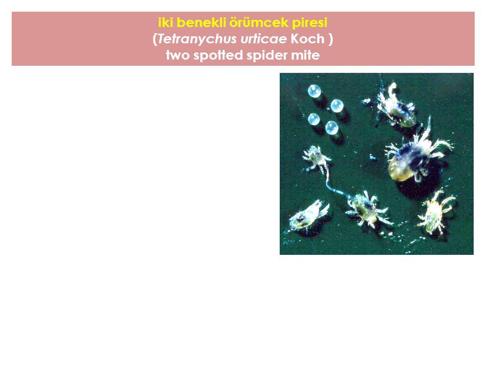 iki benekli örümcek piresi ( Tetranychus urticae Koch ) two spotted spider mite