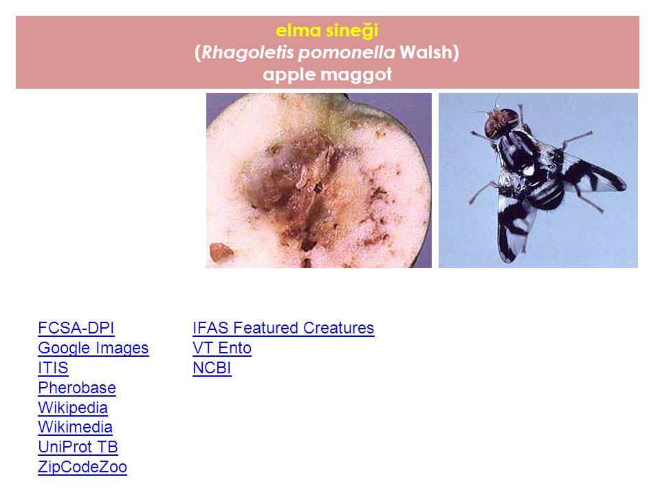 elma sineği ( Rhagoletis pomonella Walsh) apple maggot FCSA-DPI Google Images ITIS Pherobase Wikipedia Wikimedia UniProt TB ZipCodeZoo IFAS Featured C