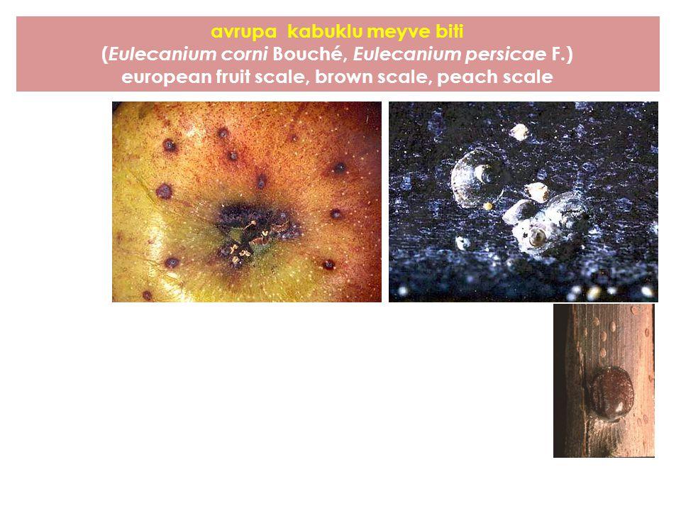 avrupa kabuklu meyve biti ( Eulecanium corni Bouché, Eulecanium persicae F.) european fruit scale, brown scale, peach scale