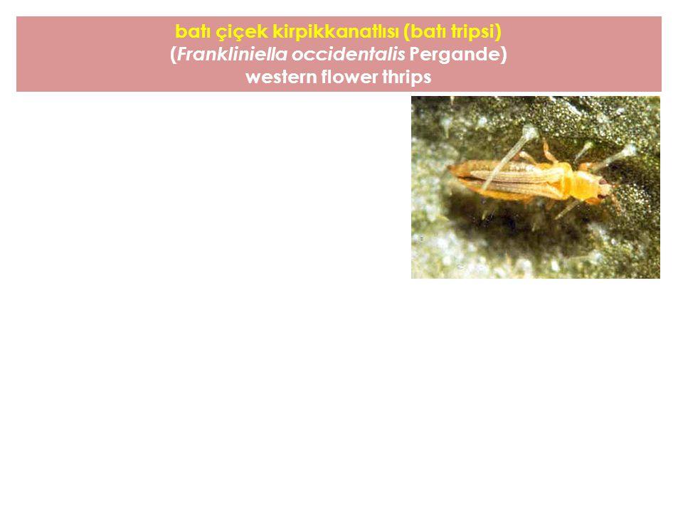 batı çiçek kirpikkanatlısı (batı tripsi) ( Frankliniella occidentalis Pergande) western flower thrips
