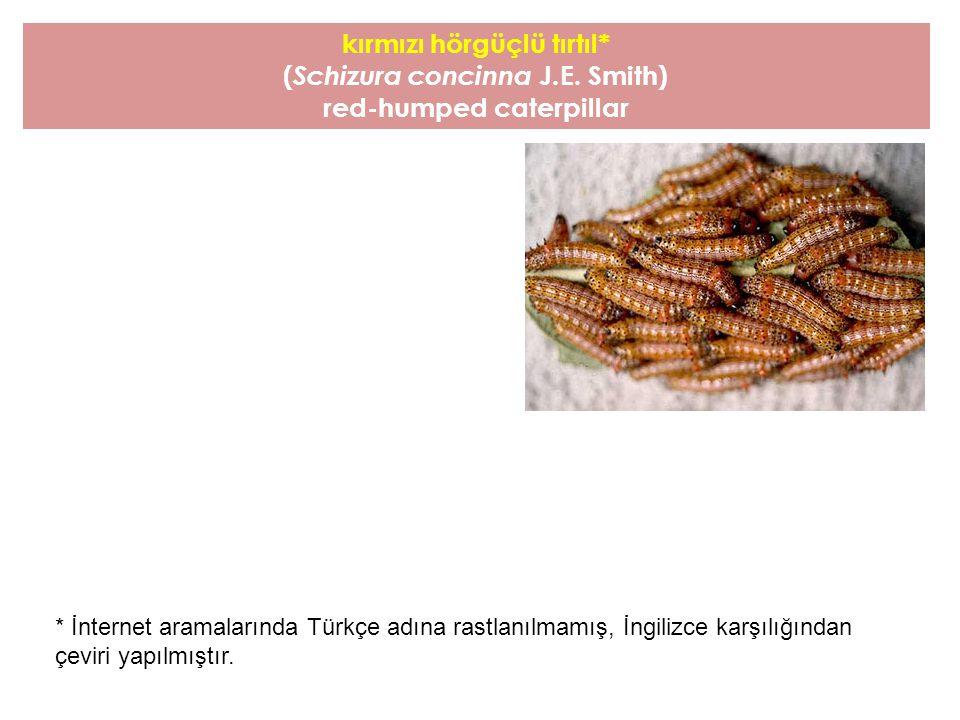 kırmızı hörgüçlü tırtıl* ( Schizura concinna J.E. Smith) red-humped caterpillar * İnternet aramalarında Türkçe adına rastlanılmamış, İngilizce karşılı