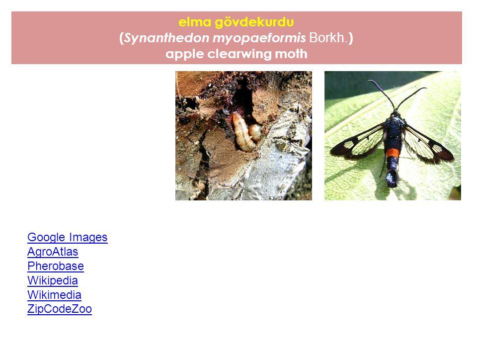 bruce karışcıtırtılı* (Operophtera bruceata Hulst ) bruce spanworm, winter moth * İnternet aramalarında Türkçe adına rastlanılmamış, İngilizce karşılığından çevrilmiştir.