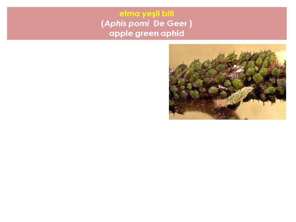 elma yeşil biti ( Aphis pomi De Geer ) apple green aphid