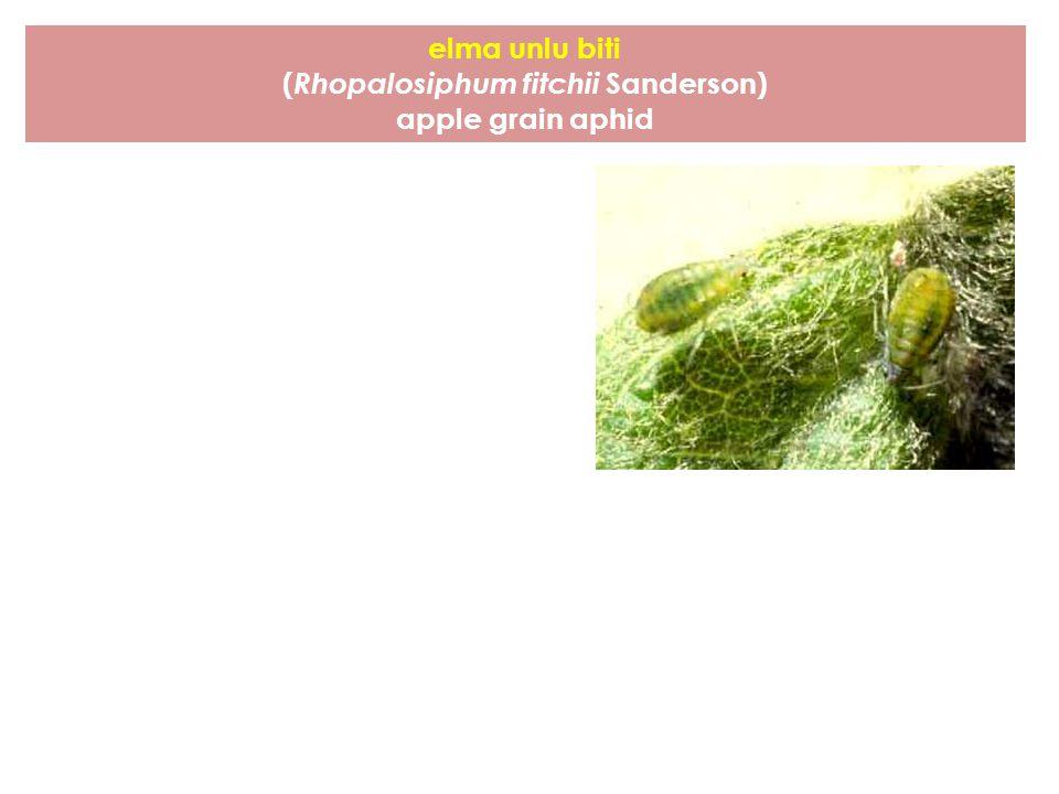 elma unlu biti ( Rhopalosiphum fitchii Sanderson) apple grain aphid