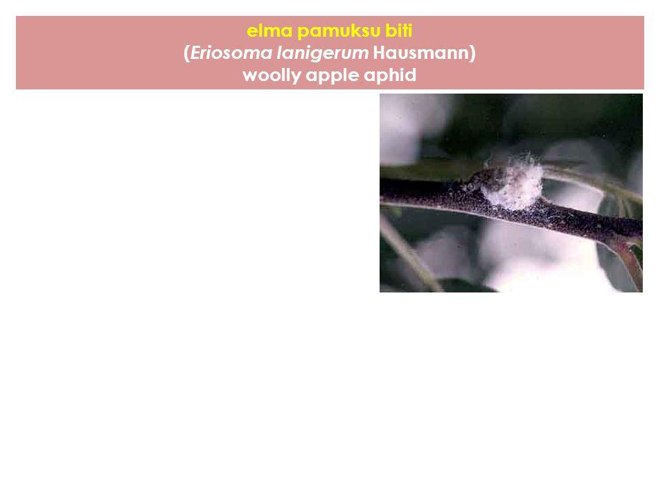 elma pamuksu biti ( Eriosoma lanigerum Hausmann) woolly apple aphid