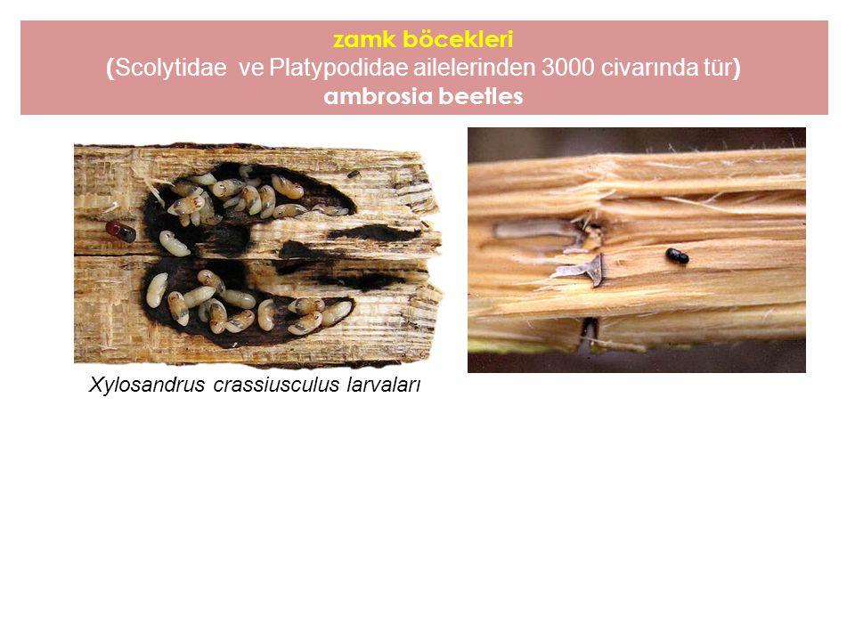 zamk böcekleri ( Scolytidae ve Platypodidae ailelerinden 3000 civarında tür ) ambrosia beetles Xylosandrus crassiusculus larvaları