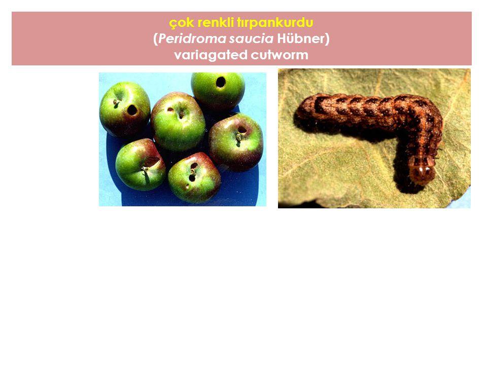 çok renkli tırpankurdu ( Peridroma saucia Hübner) variagated cutworm
