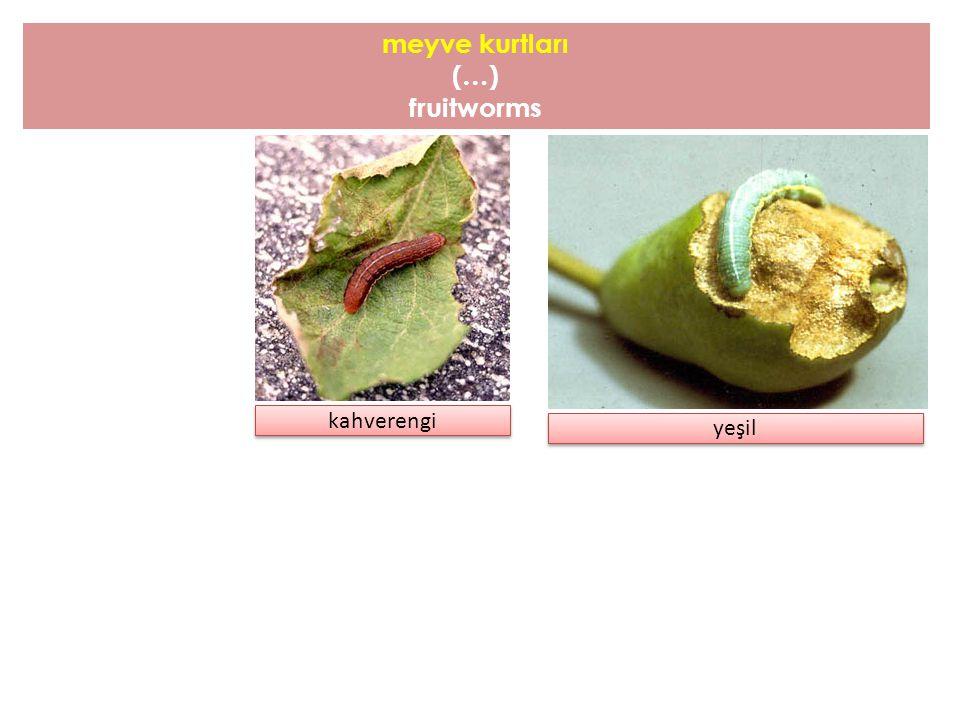meyve kurtları ( … ) fruitworms kahverengi yeşil