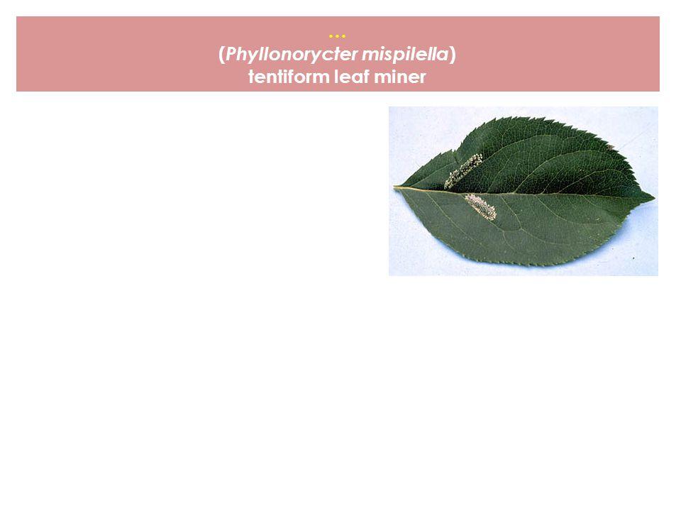 … ( Phyllonorycter mispilella ) tentiform leaf miner