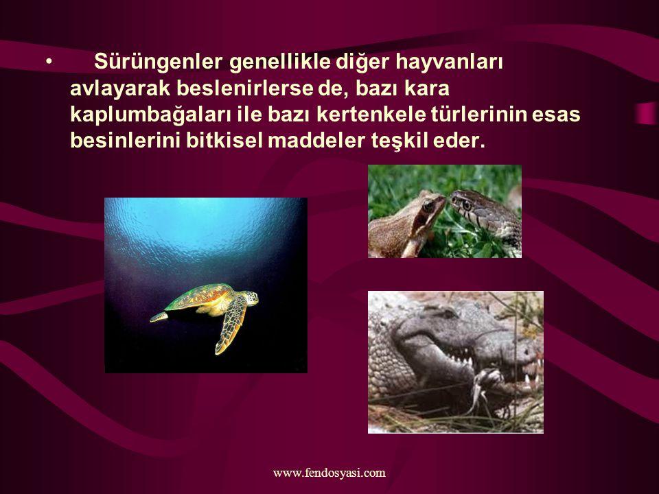 www.fendosyasi.com Sürüngenler genellikle diğer hayvanları avlayarak beslenirlerse de, bazı kara kaplumbağaları ile bazı kertenkele türlerinin esas be