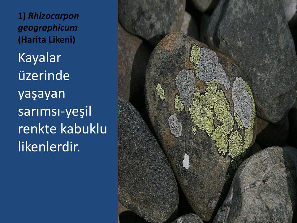 1) Rhizocarpon geographicum (Harita Likeni) Kayalar üzerinde yaşayan sarımsı-yeşil renkte kabuklu likenlerdir.