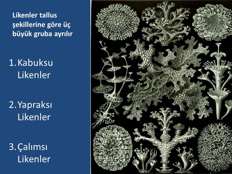 METABOLİZMA Likenleri oluşturan alg ve mantarlar arasında bazı fizyolojik iş bölümleri vardır.