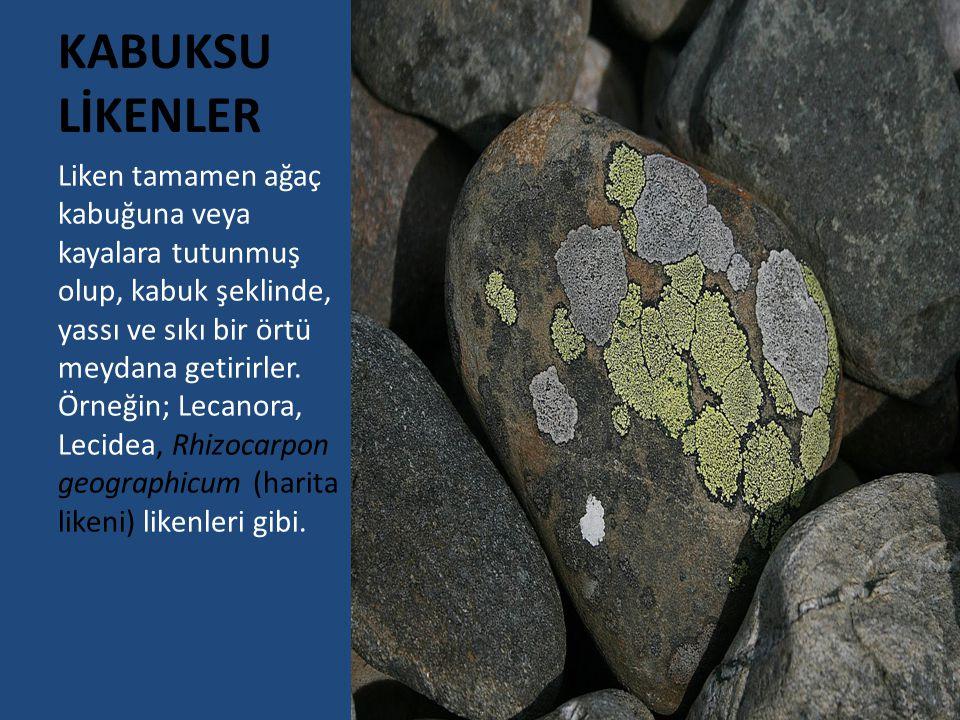 7) Cladonia rangiferina (Kadeh Likeni) Orman kenarlarındaki güneşli yerlerde ve kireçli topraklarda yaşayan grimsiyeşil kadeh şeklindeki likenlerdir.