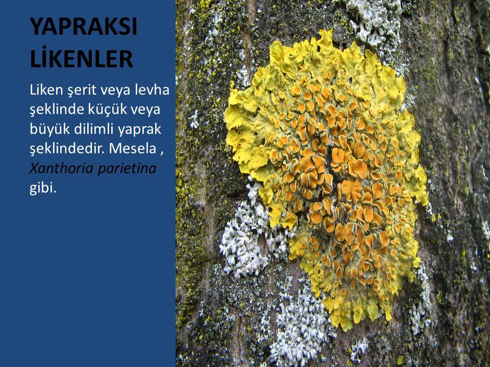 YAPRAKSI LİKENLER Liken şerit veya levha şeklinde küçük veya büyük dilimli yaprak şeklindedir. Mesela, Xanthoria parietina gibi.