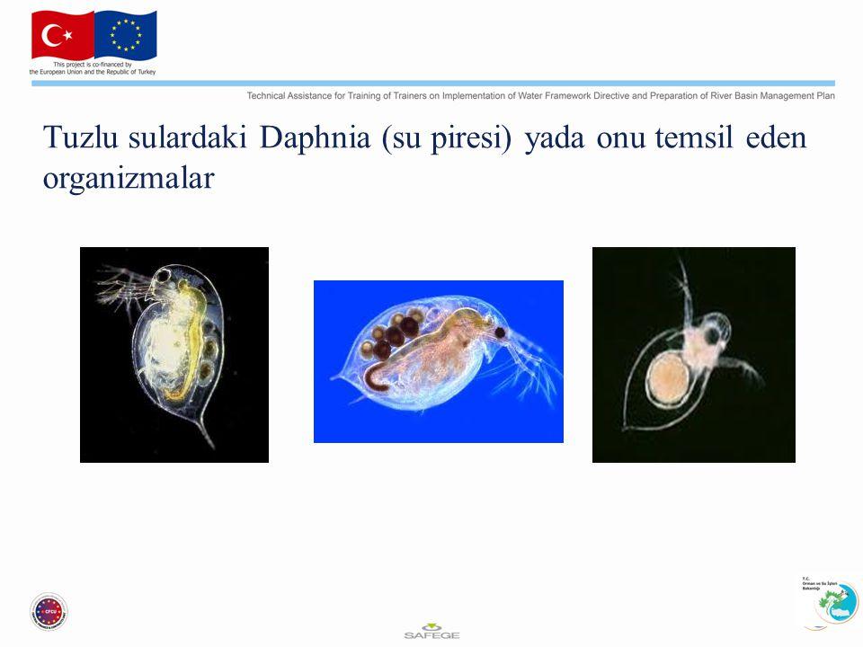 Tuzlu sulardaki Daphnia (su piresi) yada onu temsil eden organizmalar