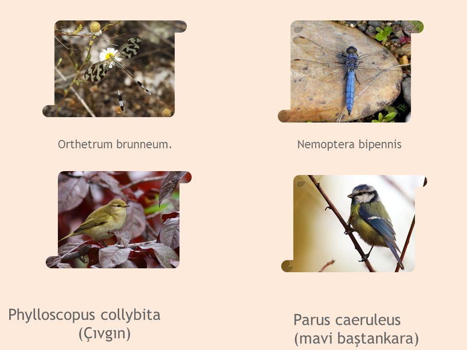 Phylloscopus collybita (Çıvgın) Parus caeruleus (mavibaştankara) Phylloscopus collybita (Çıvgın) Parus caeruleus (mavibaştankara) Phylloscopus collybi