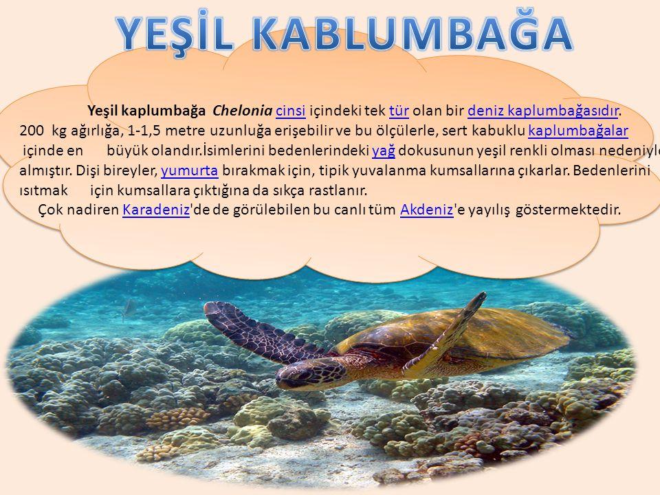Yeşil kaplumbağa Chelonia cinsi içindeki tek tür olan bir deniz kaplumbağasıdır. 200 kg ağırlığa, 1-1,5 metre uzunluğa erişebilir ve bu ölçülerle, ser