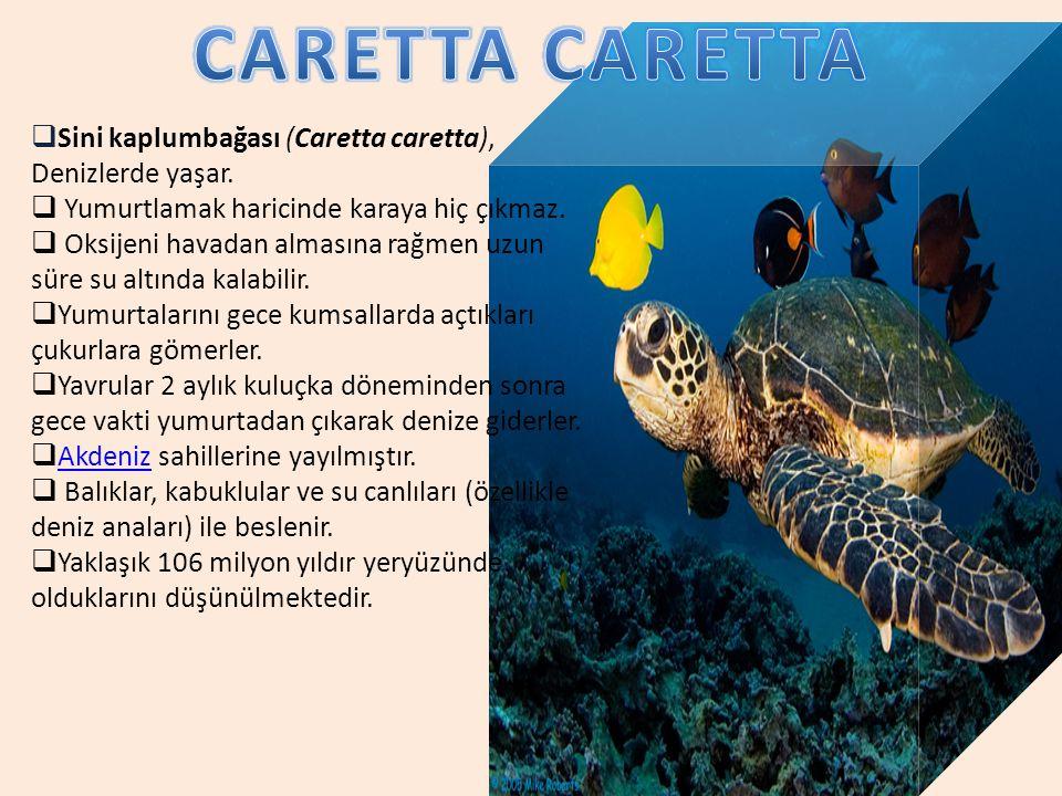  Sini kaplumbağası (Caretta caretta), Denizlerde yaşar.  Yumurtlamak haricinde karaya hiç çıkmaz.  Oksijeni havadan almasına rağmen uzun süre su al