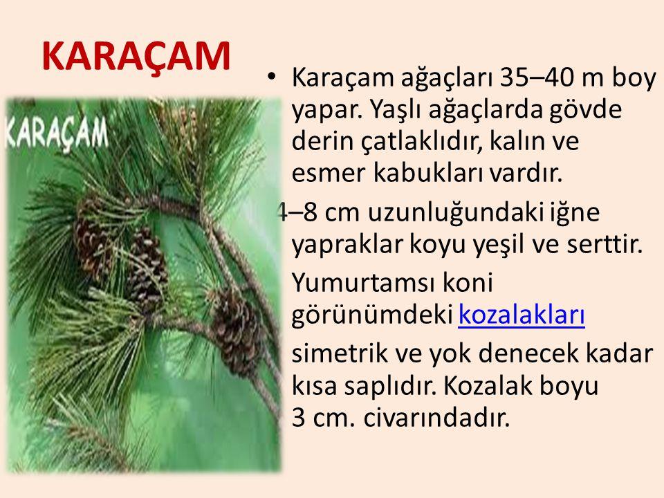KARAÇAM Karaçam ağaçları 35–40 m boy yapar. Yaşlı ağaçlarda gövde derin çatlaklıdır, kalın ve esmer kabukları vardır. 4–8 cm uzunluğundaki iğne yaprak