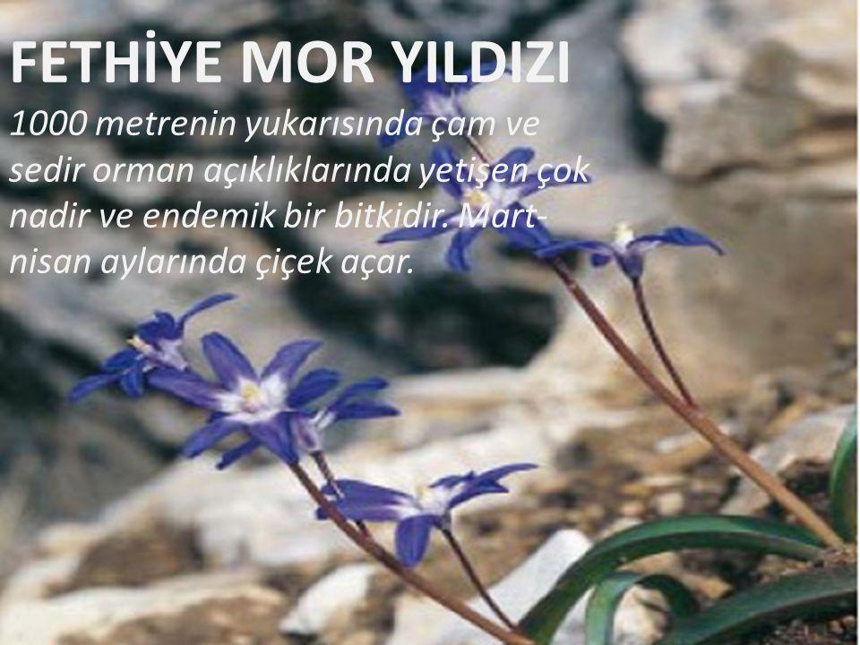 FETHİYE MOR YILDIZI 1000 metrenin yukarısında çam ve sedir orman açıklıklarında yetişen çok nadir ve endemik bir bitkidir. Mart- nisan aylarında çiçek